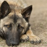 48538985 - very sad german shepherd with beautiful eyes lies on the ground
